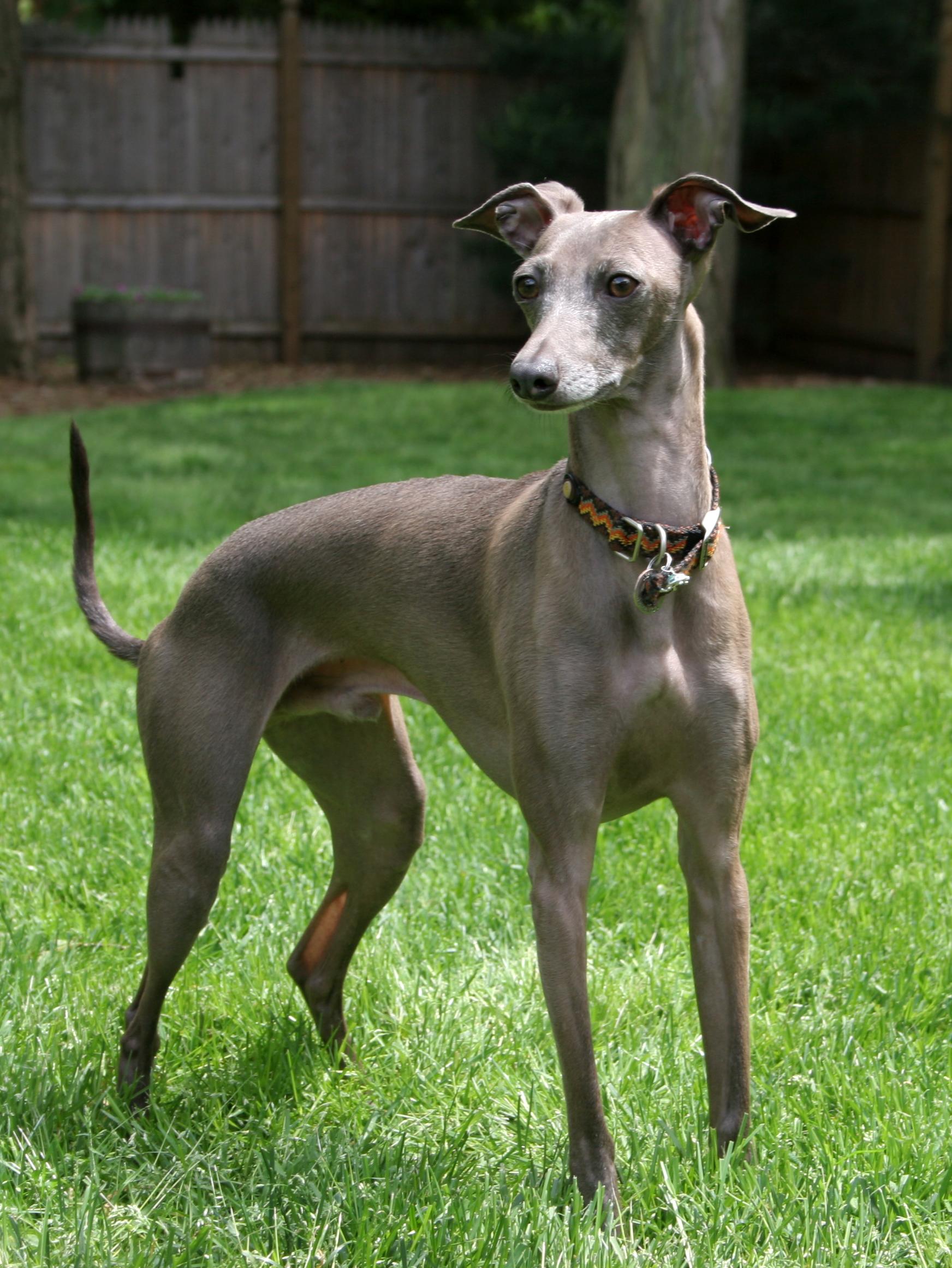 Italian Greyhound Wikipedia