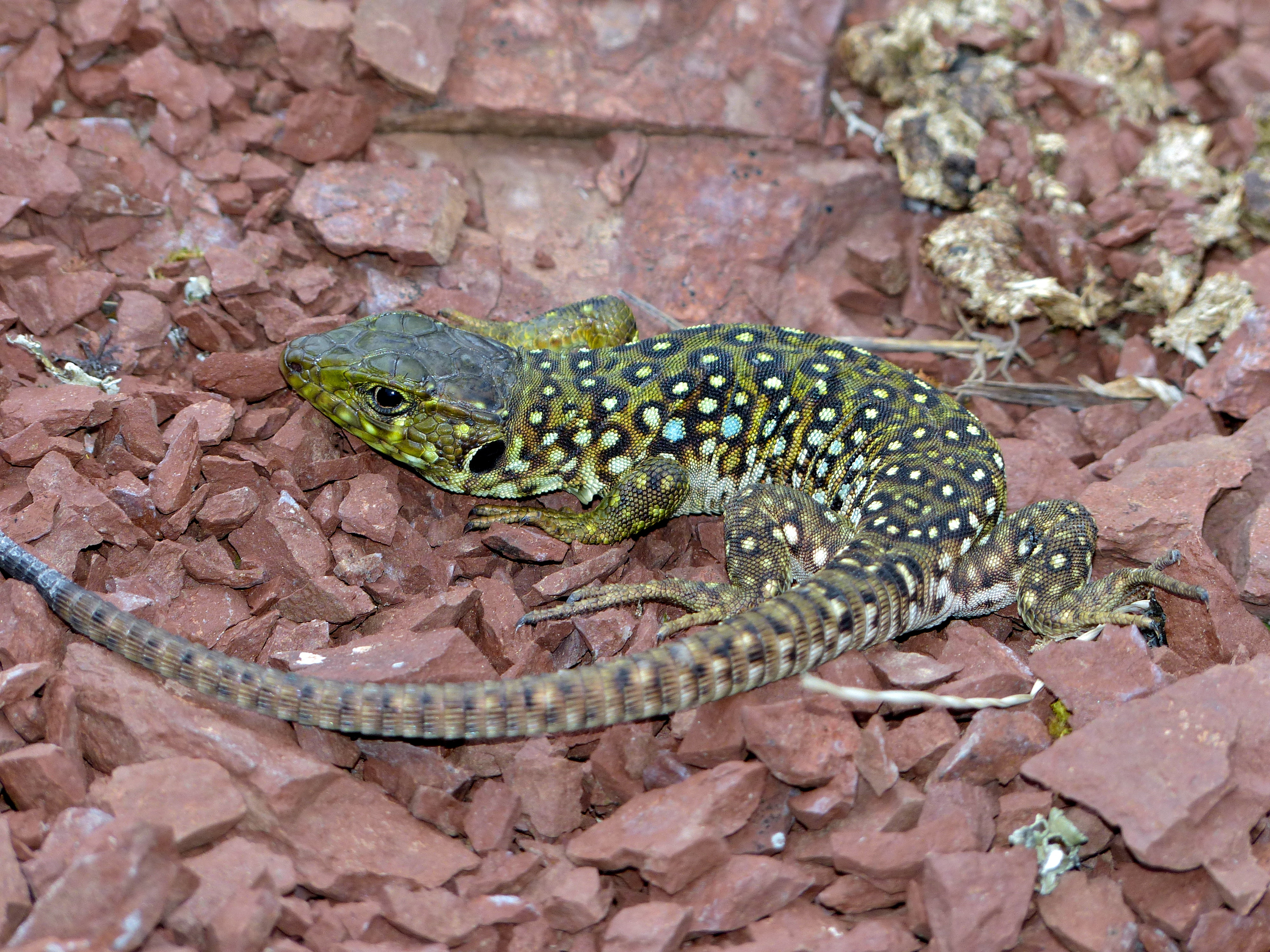 Jewelled Lizard (Timon lepidus) juvenile found under a stone  (14190218293).jpg