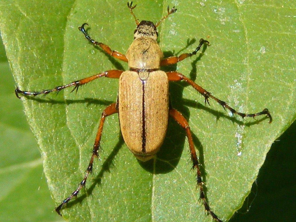 Macrodactylus subspinosus wikipedia la enciclopedia libre - A quel moment tailler les rosiers ...