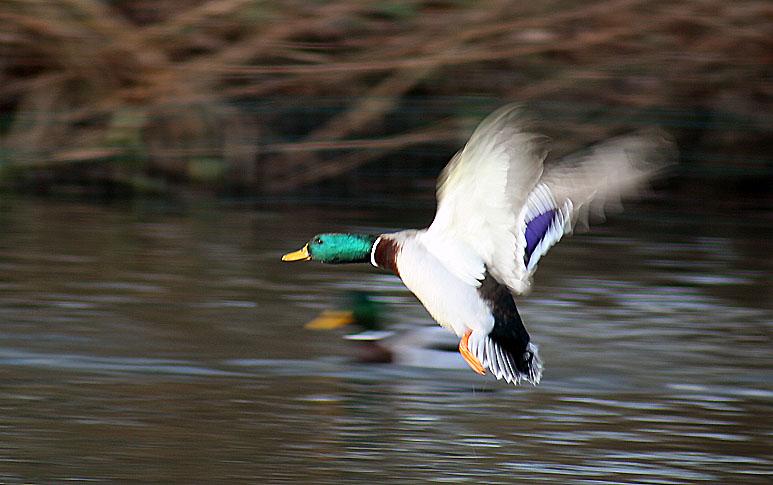 پرونده:Mallard flying.jpg