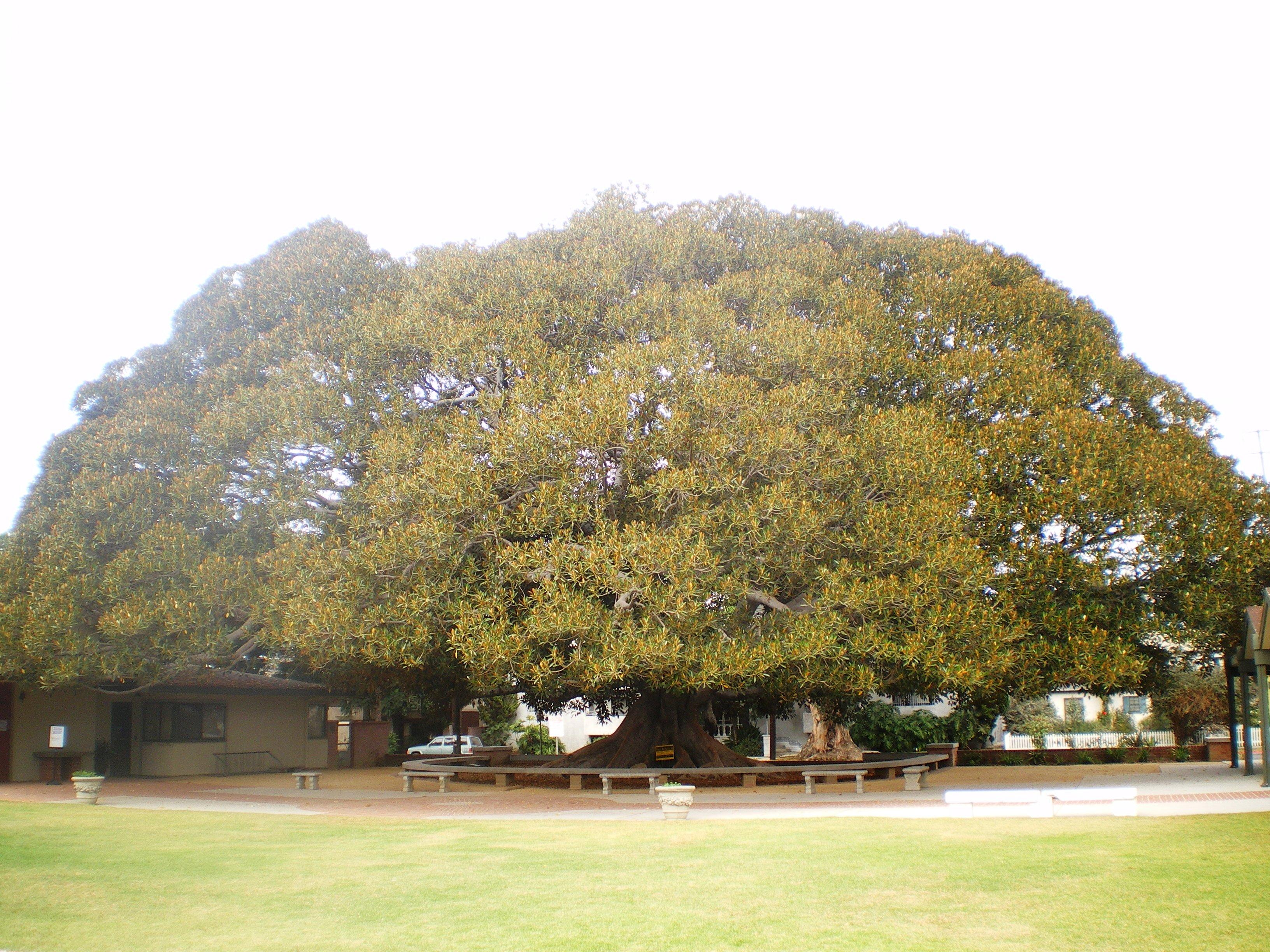 File:Morteton Bay Fig Tree (Los Angeles).jpg - Wikimedia Commons