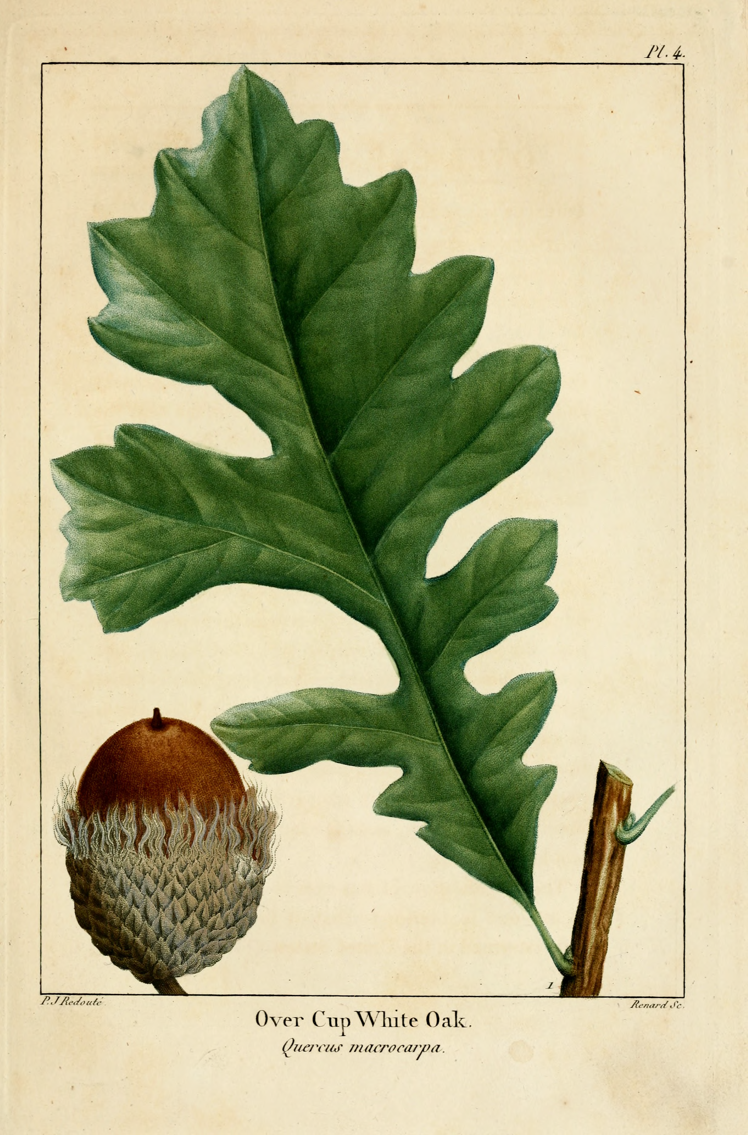 Original title:    DescriptionNAS-004 Quercus macrocarpa.png English: Quercus macrocarpa - Bur oak (original caption: Over Cup White Oak Quercus macrocarpa) Date 1819 Source The North American sylva, or A description of the forest trees of the United States, Canada and Nova Scotia ... to which is added a description of the most useful of the European forest trees ... Tr. from the French of F. Andrew Michaux. Author François André Michaux, Augustus Lucas Hillhouse (translator), Pierre Joseph Redouté (illustrator), Renard (engraver)