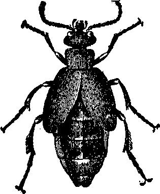 Oil_Beetle.png