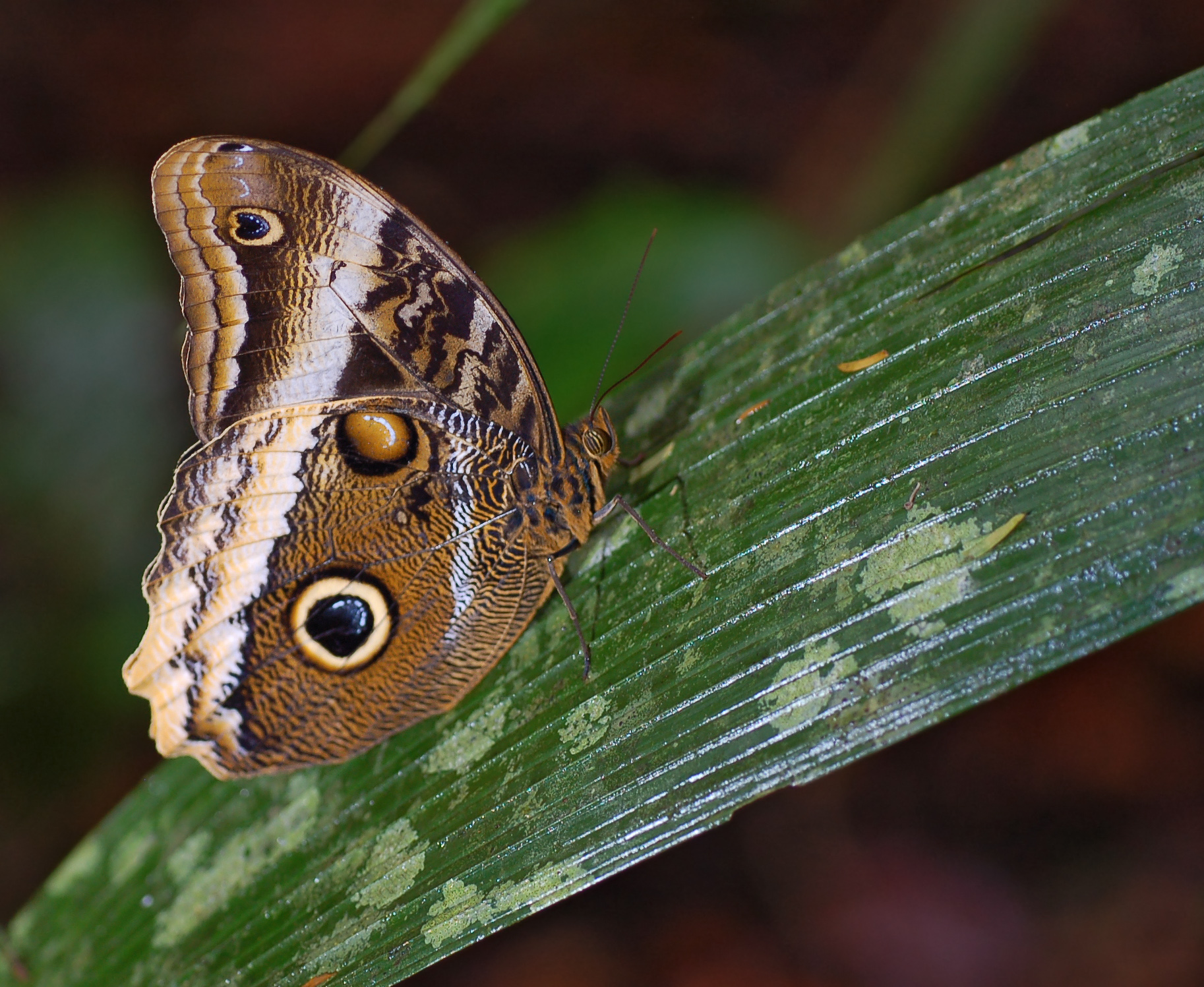Owl butterfly - photo#16