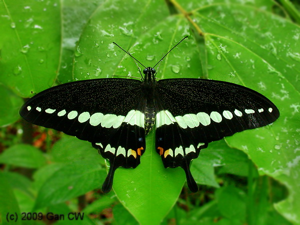 Resting Papilio demolion. Credit: Wikipedia Commons