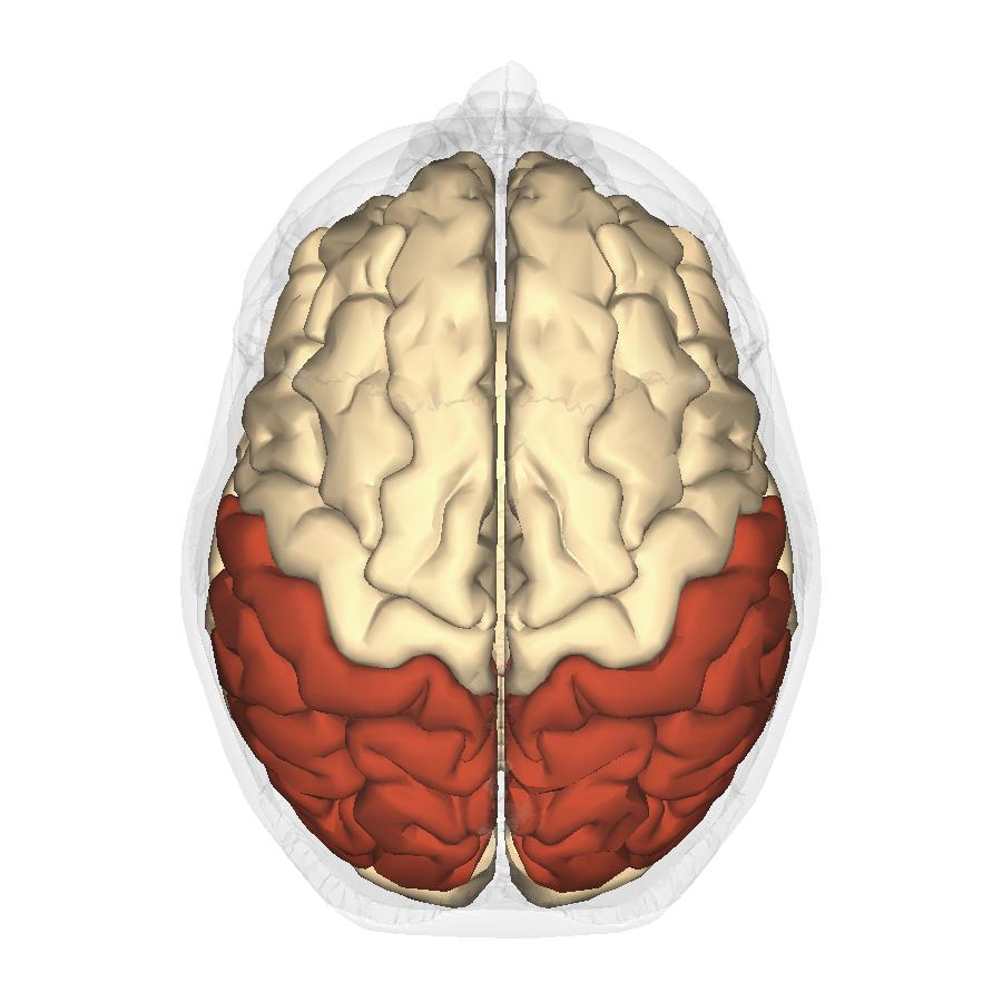 File:Parietal lobe - superior view.png - Wikimedia Commons