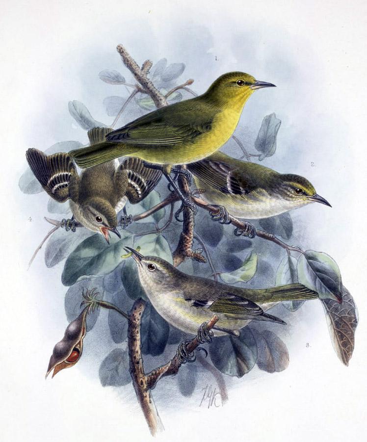 http://upload.wikimedia.org/wikipedia/commons/5/5d/Paroreomyza_maculata.jpg
