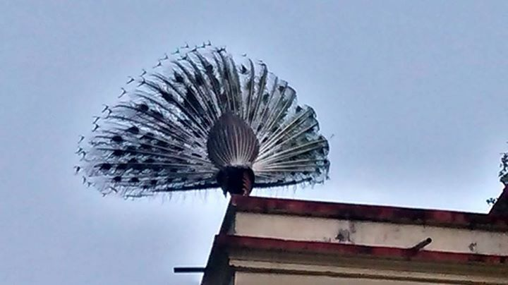 File:Peacock in kashi.jpg