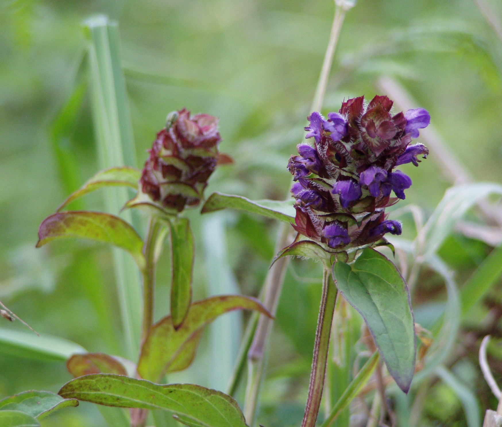 Wikipedia/commons/5/5d/Prunella_vulgaris_two) ...