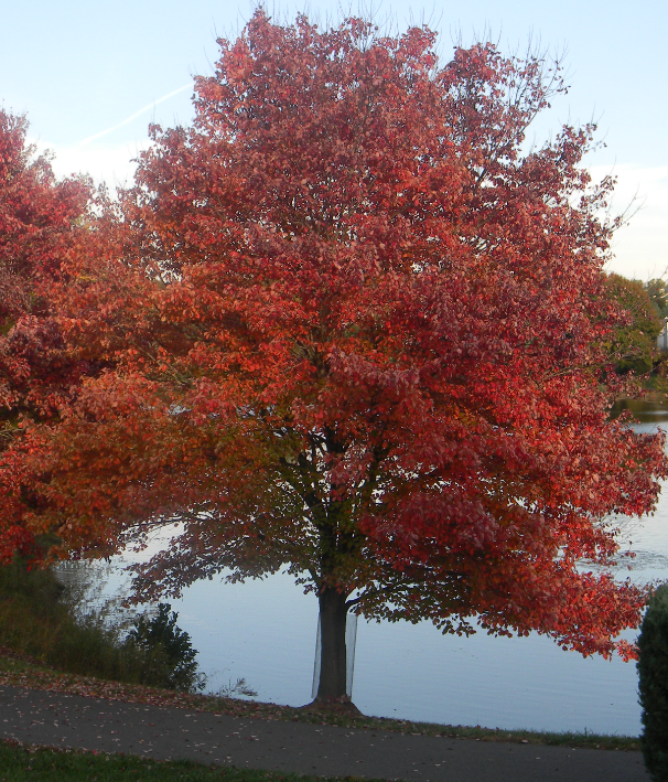 Image gallery red maple for Maple trees for sale
