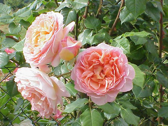 Rosa sp.18