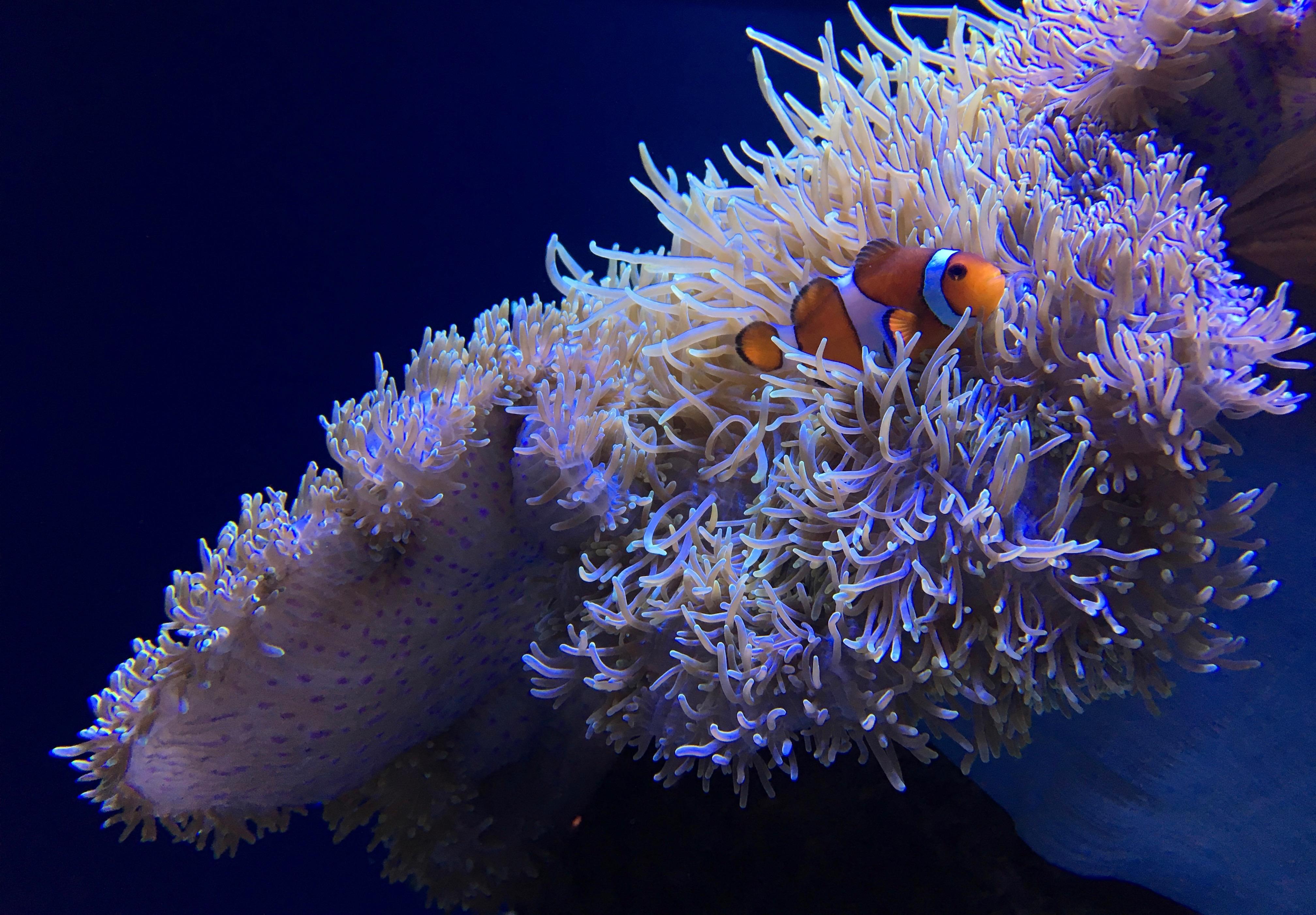 Blood Moon Chart: Orange clownfish - Wikipedia,Chart