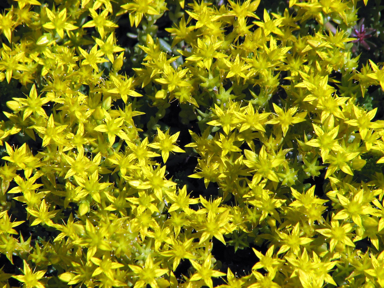 Filesedum Acre Flowering 01g Wikimedia Commons
