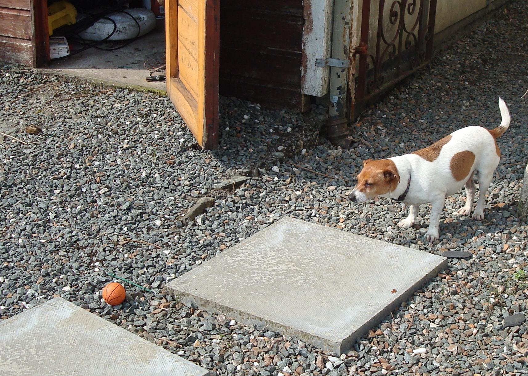 Dog watching a ball