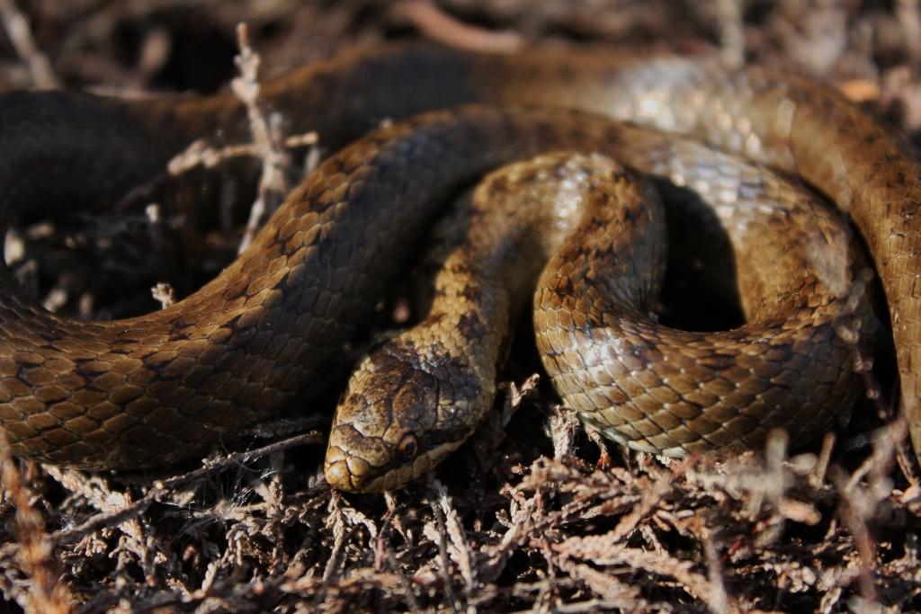 Smooth_Snake_(Coronella_austriaca)_(7159868151).jpg (1024×683)