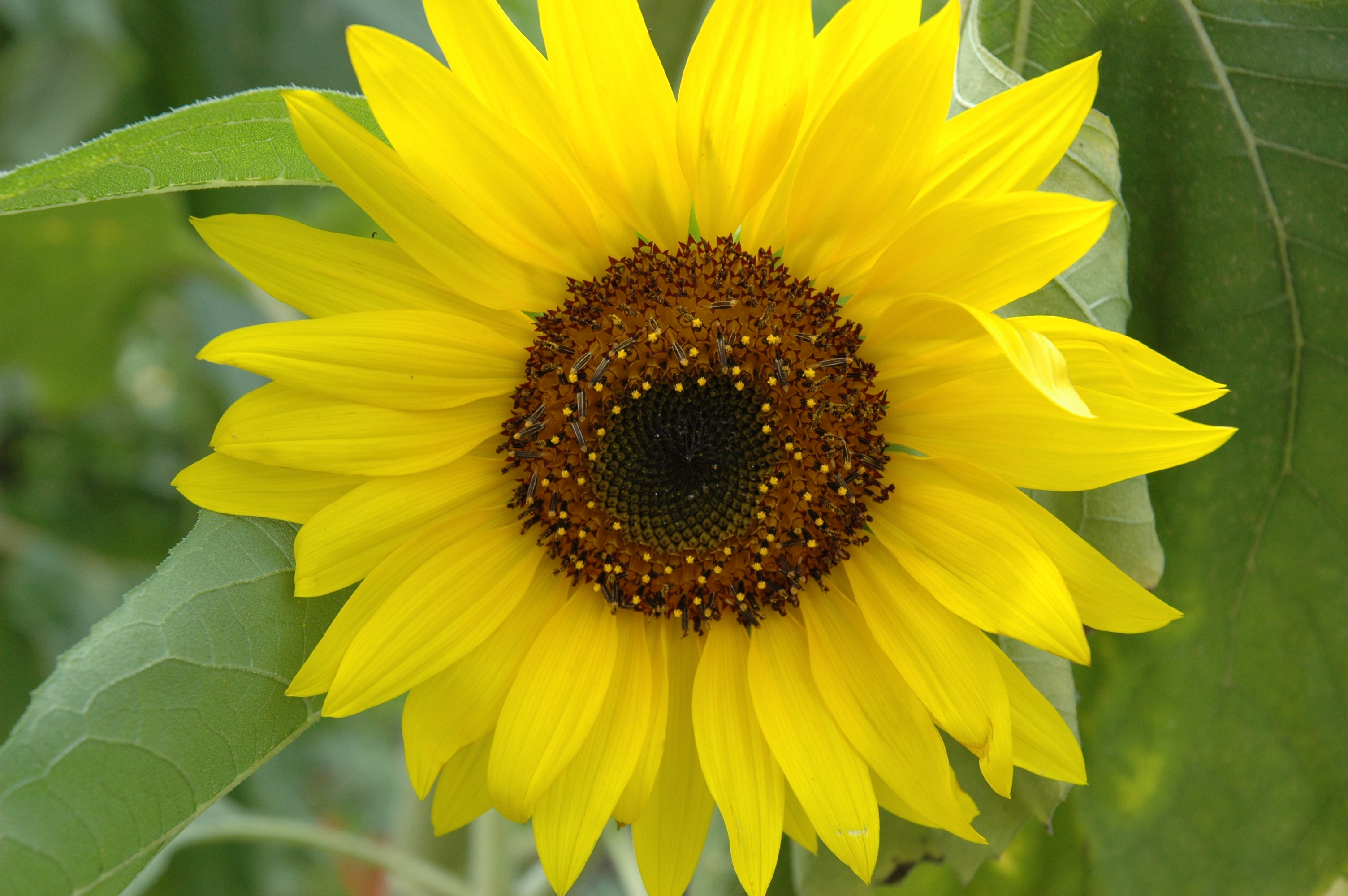 How to Grow Sunny Sunflowers | Flea Market Gardening