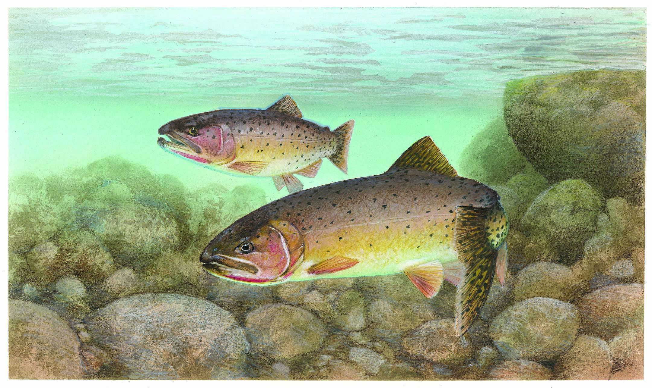 Cutthroat trout wikiwand for How to fish trout