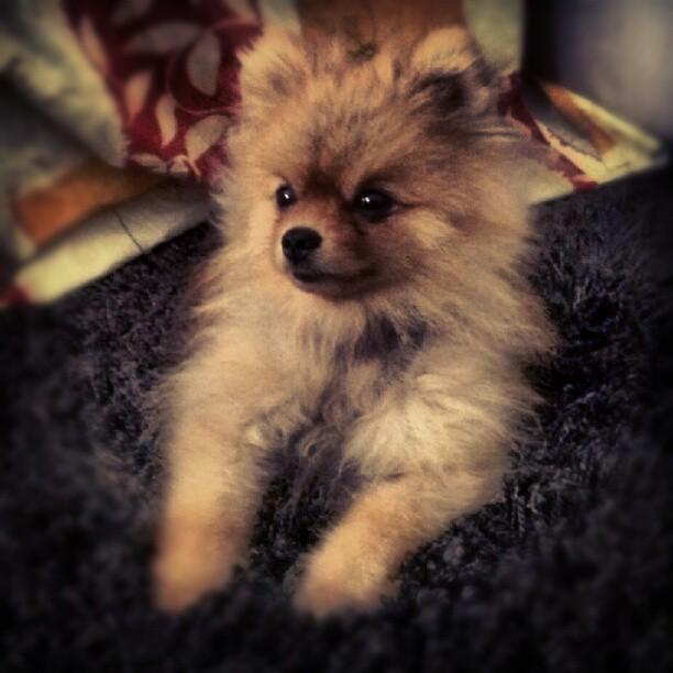 Pomeranian dog  Wikipedia