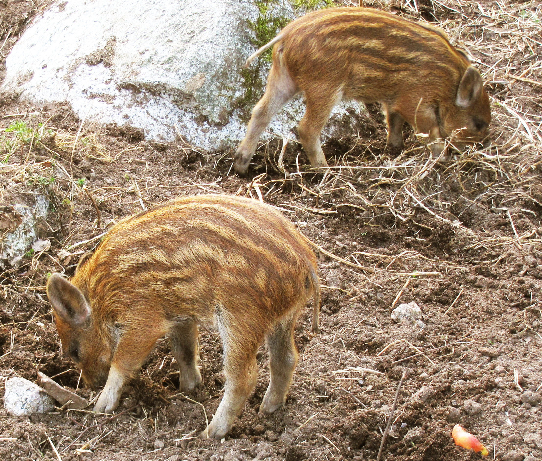history of wild pigs in new zealand pig hog boar autos post