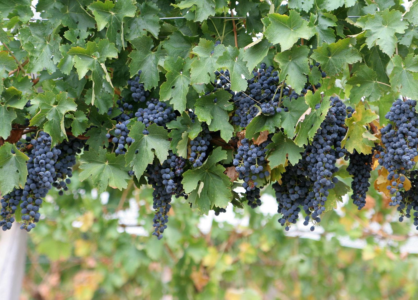 images of grape vines - photo #2