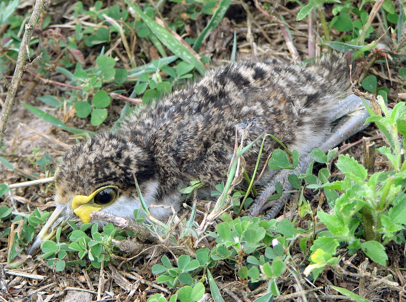 Young Masked Lapwing.jpg