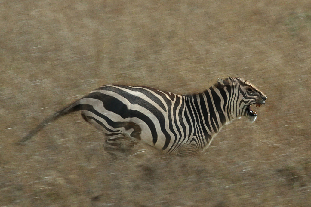 Zebra Vs Lion Nasioc