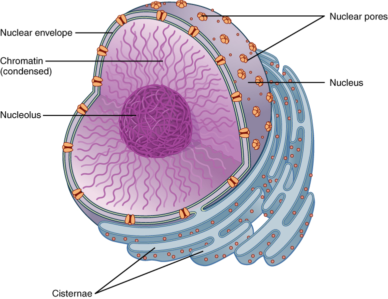 Nuclear membrane - Simple English Wikipedia, the free ...