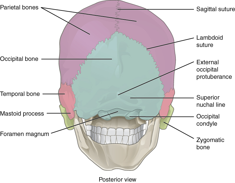 Anatomy facial bones