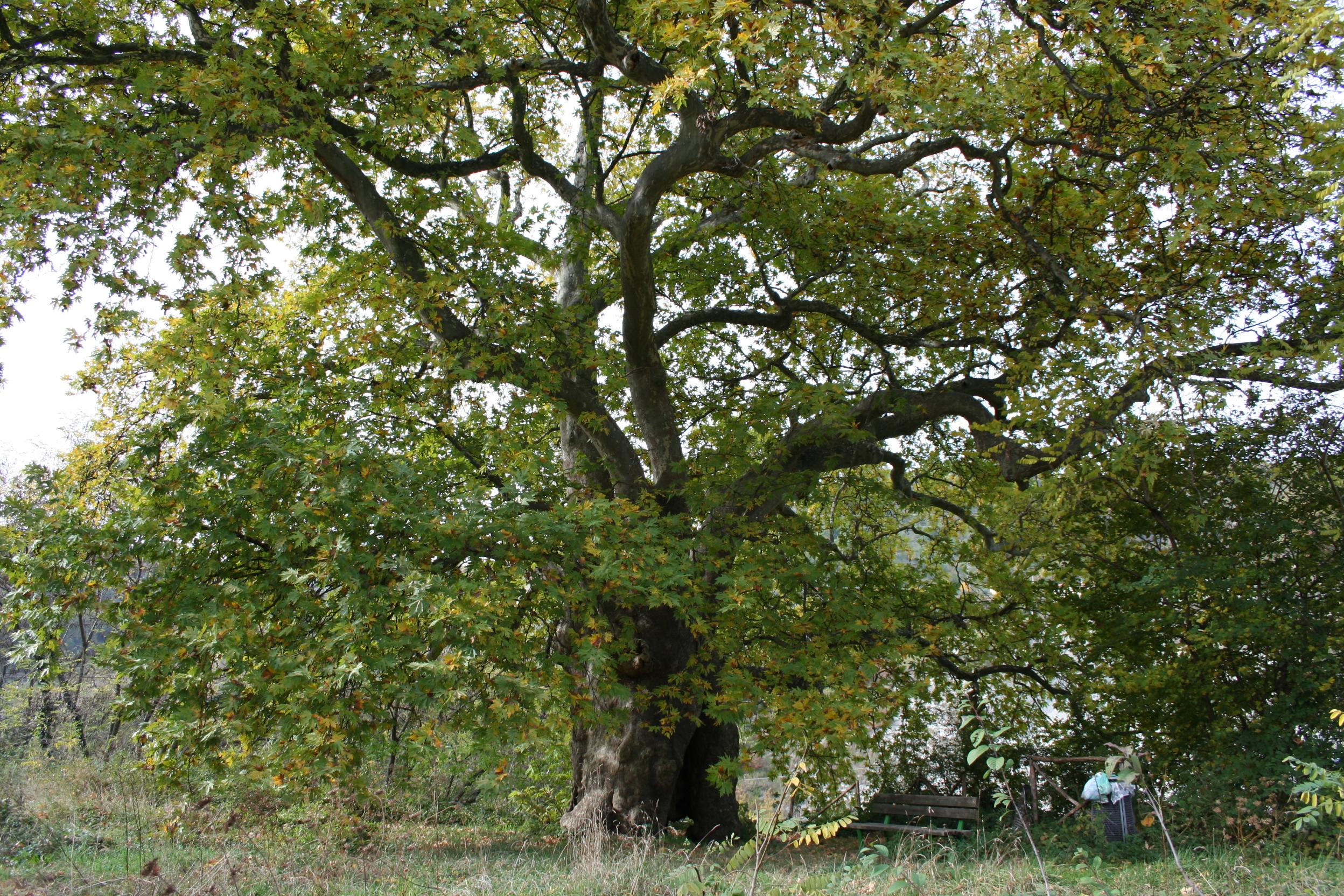 il albero