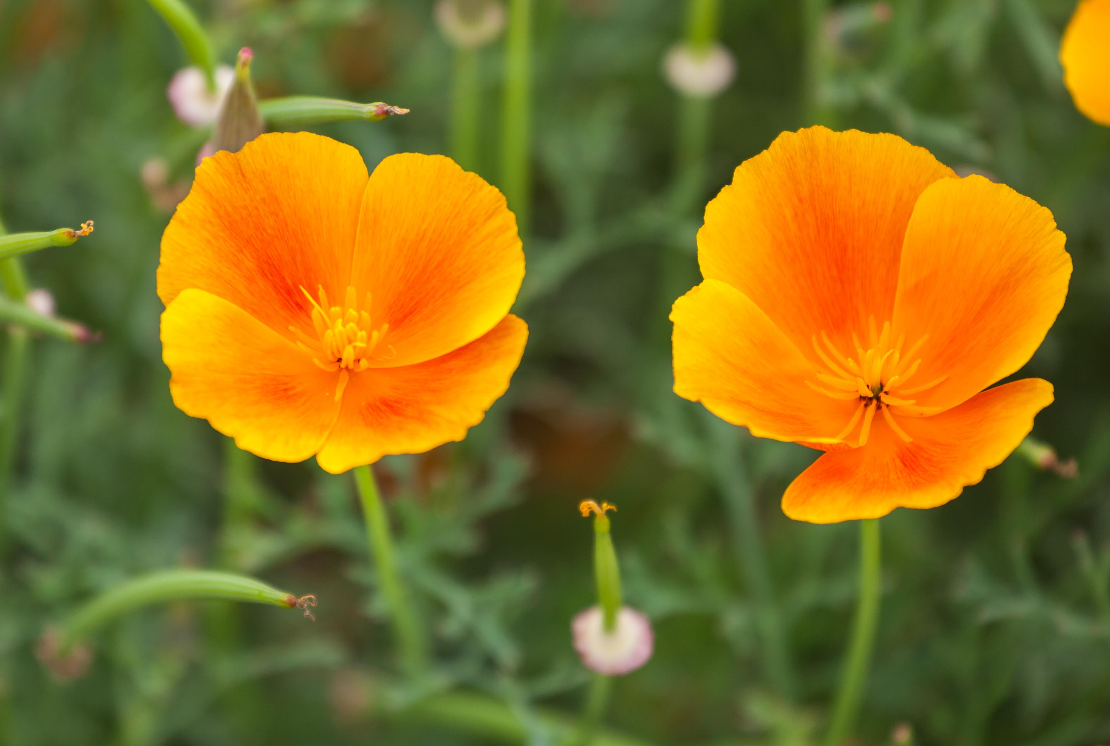 File amapola de california eschscholzia californica for Amapola jardin de infantes palermo
