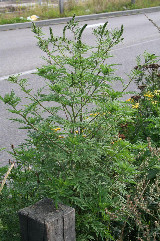 Garden Bush: Alsemambrosia