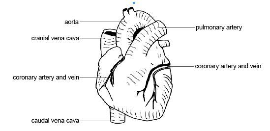 Anatomy and physiology of animals heart showing Coronary vessels.jpg