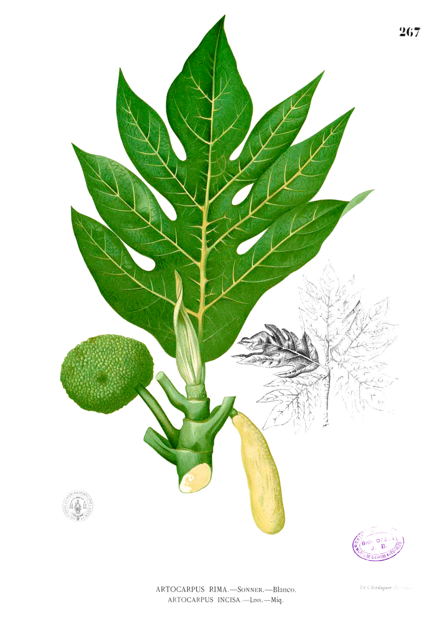 Depiction of Artocarpus altilis