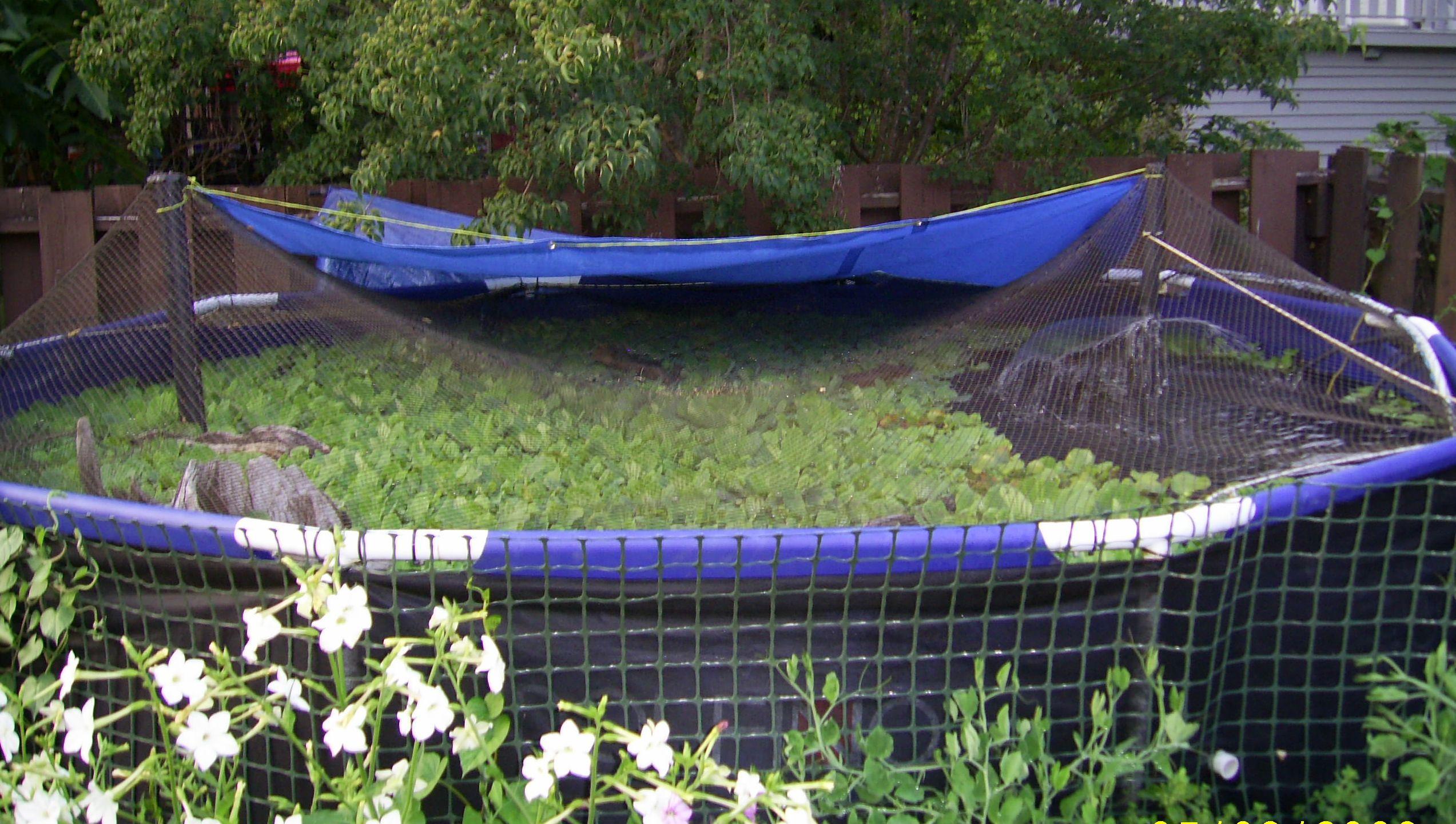 File back yard summer tilapia wikimedia commons for Garden pool tilapia