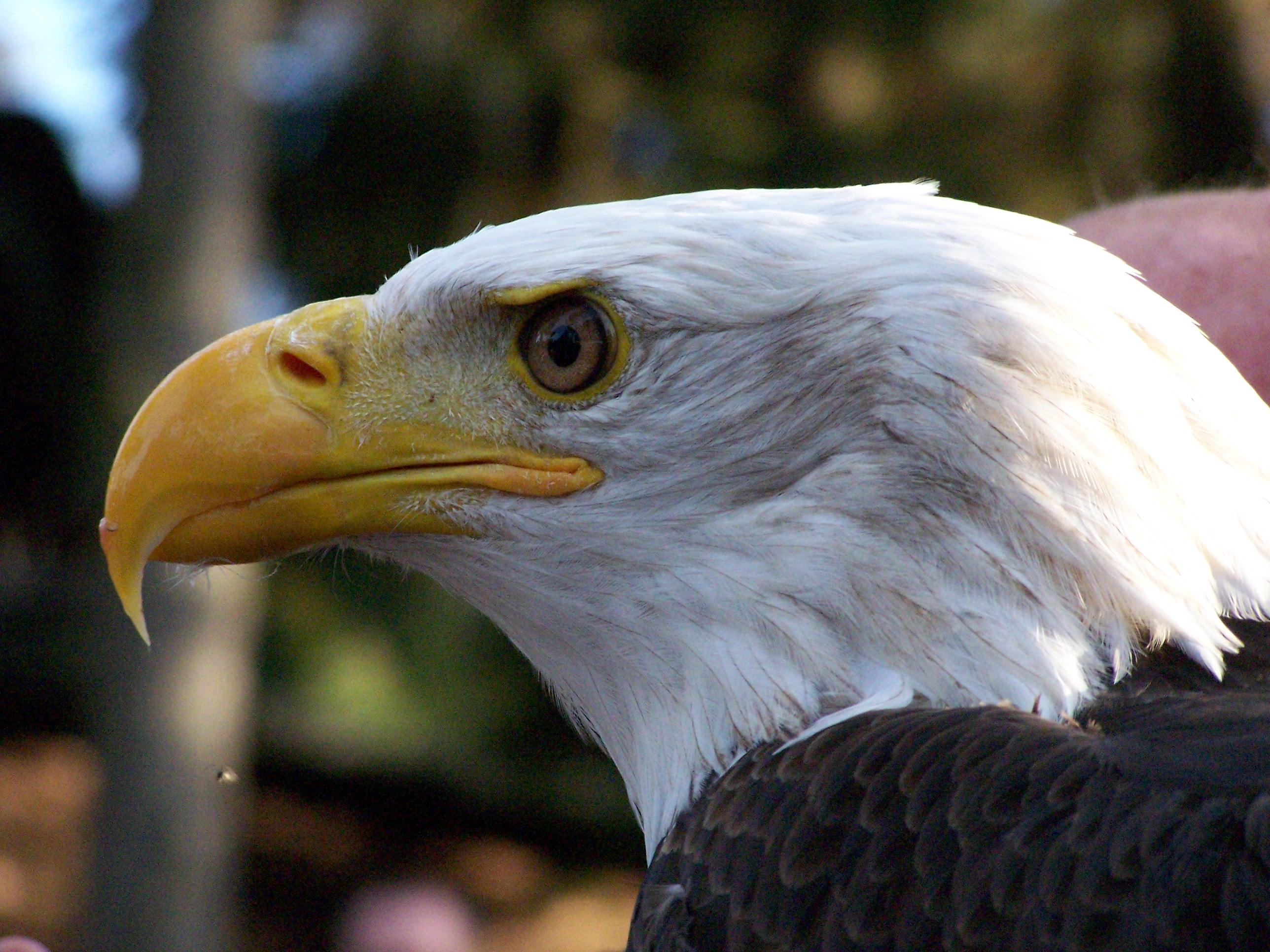 Must see   Wallpaper Horse Eagle - Bald_Eagle  Photograph_18522.JPG