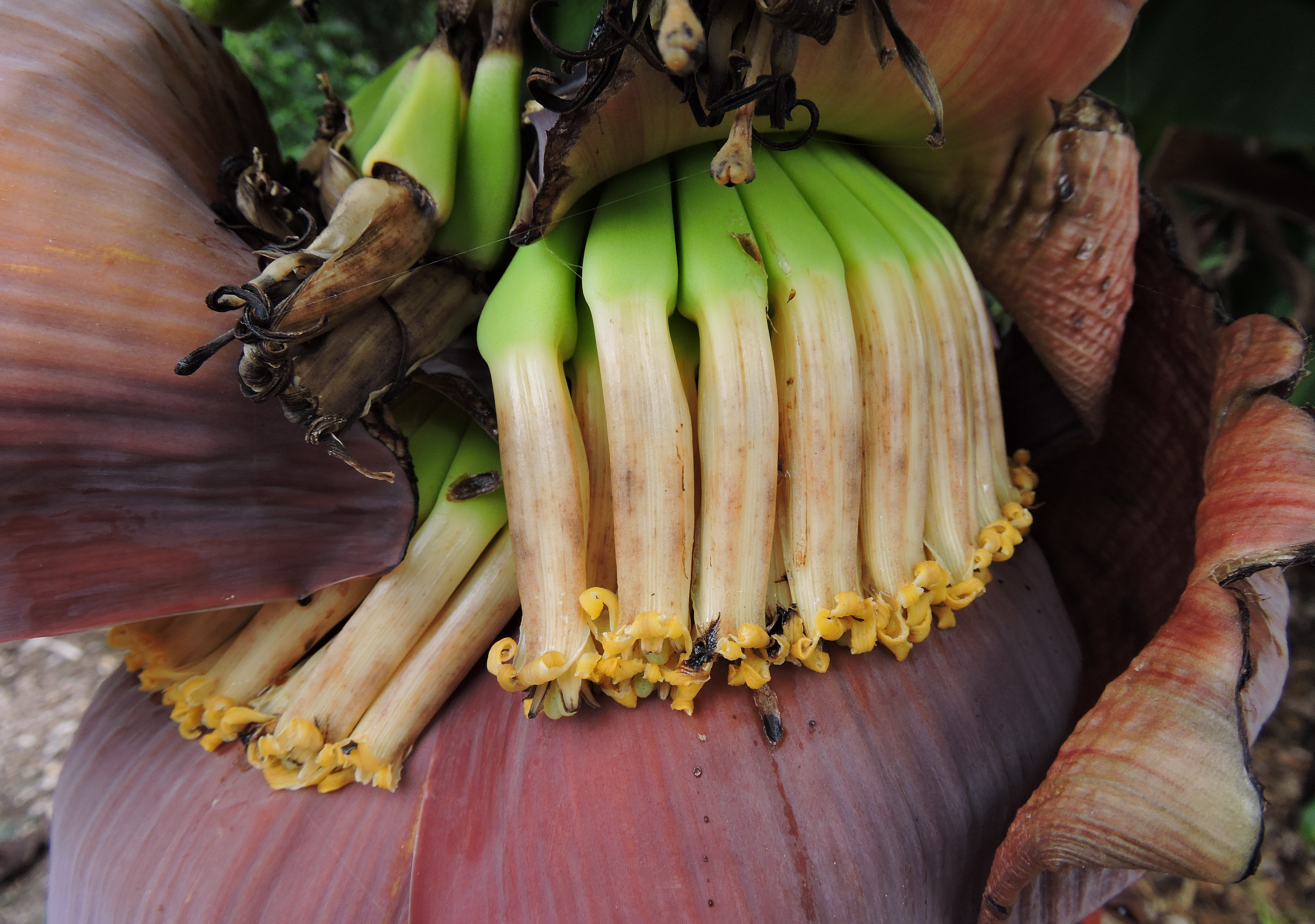 musa acuminata recycling banana peelings into Explore log in create new account upload.