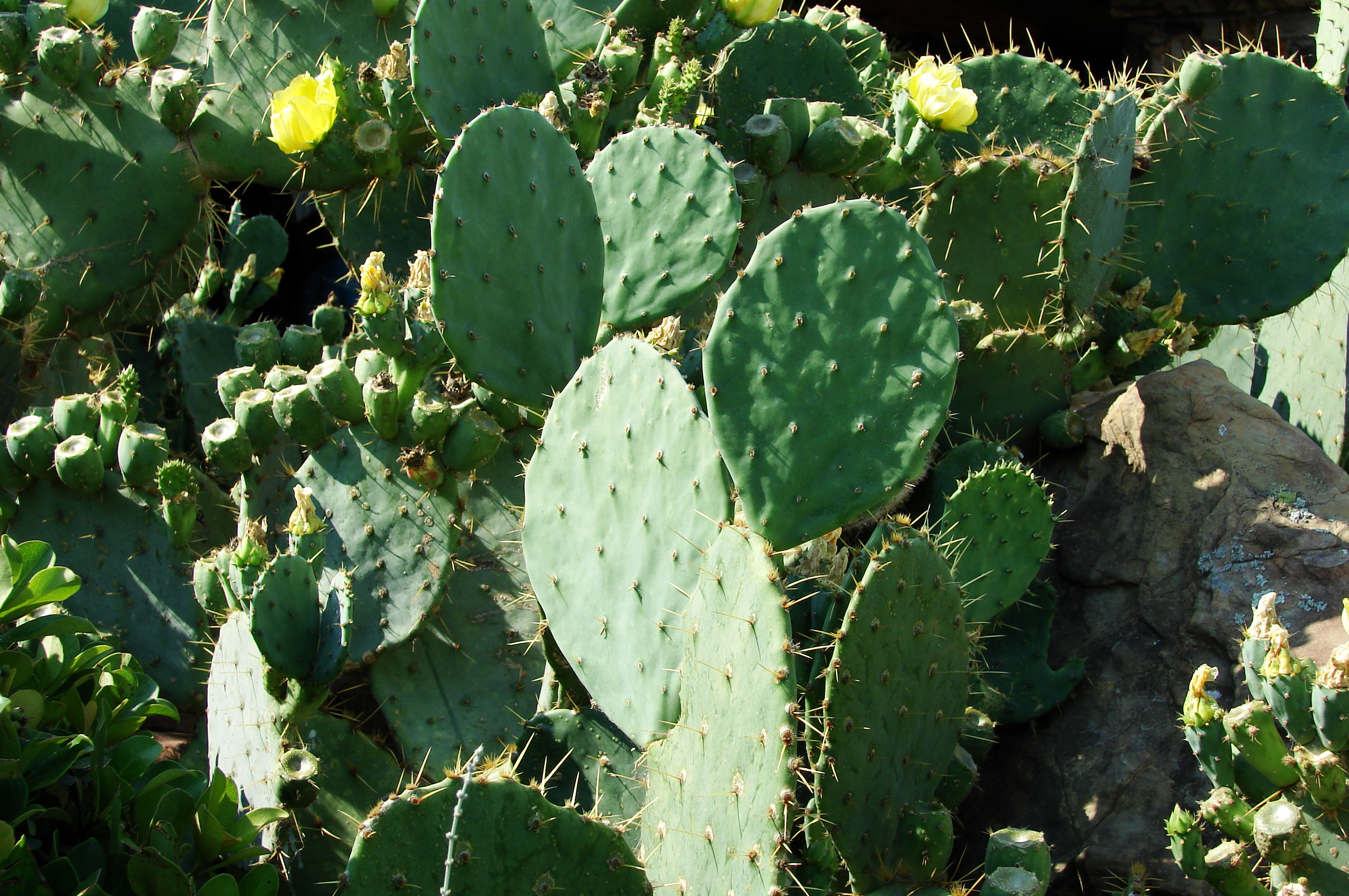 File:Cactus-Prickly-Pear-3901.jpg - Wikimedia Commons