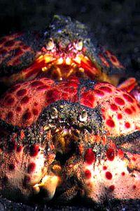 Calappa granulata.jpg
