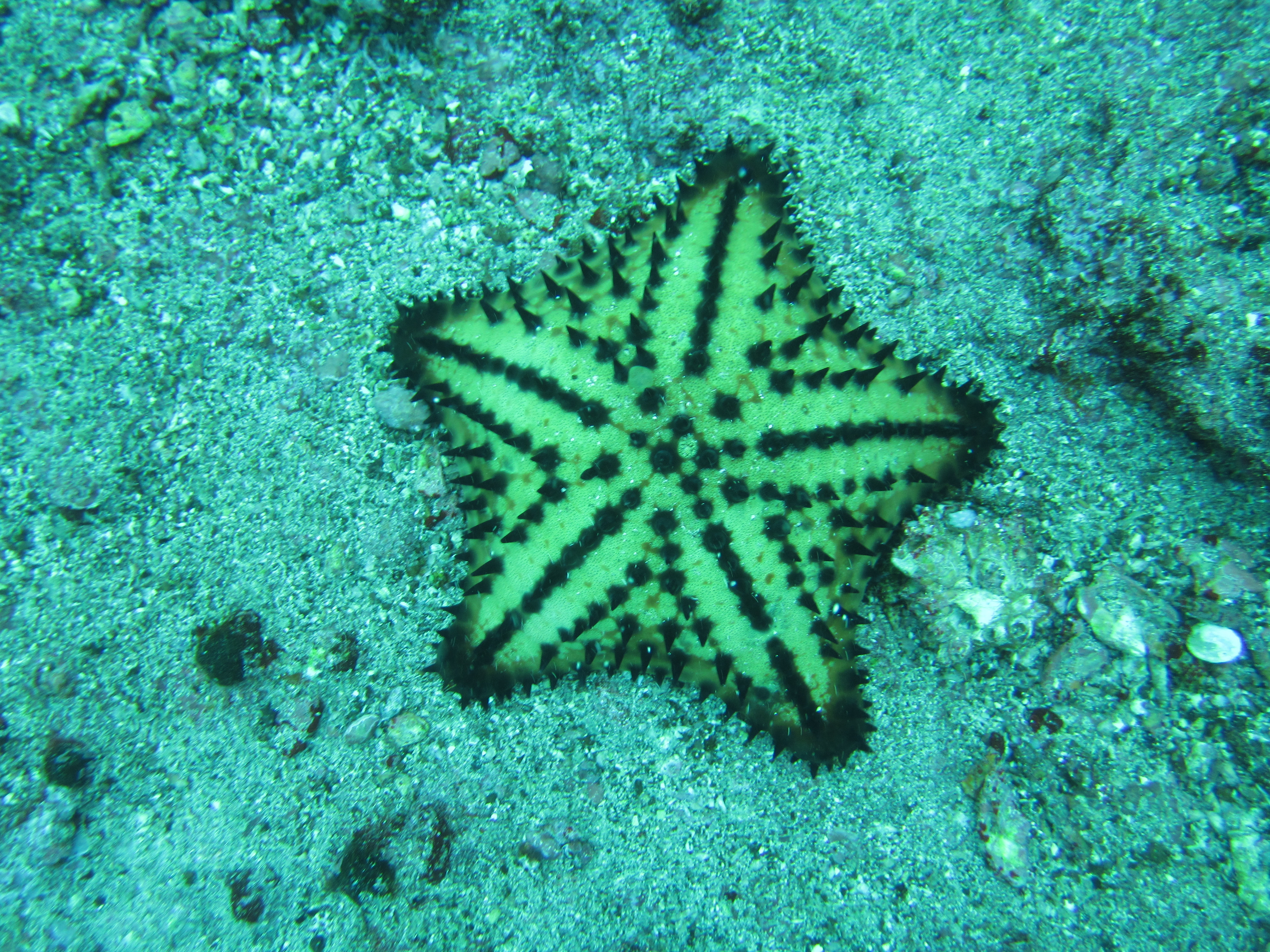 File:Chocolate Chip Sea Star.jpg - Wikimedia Commons