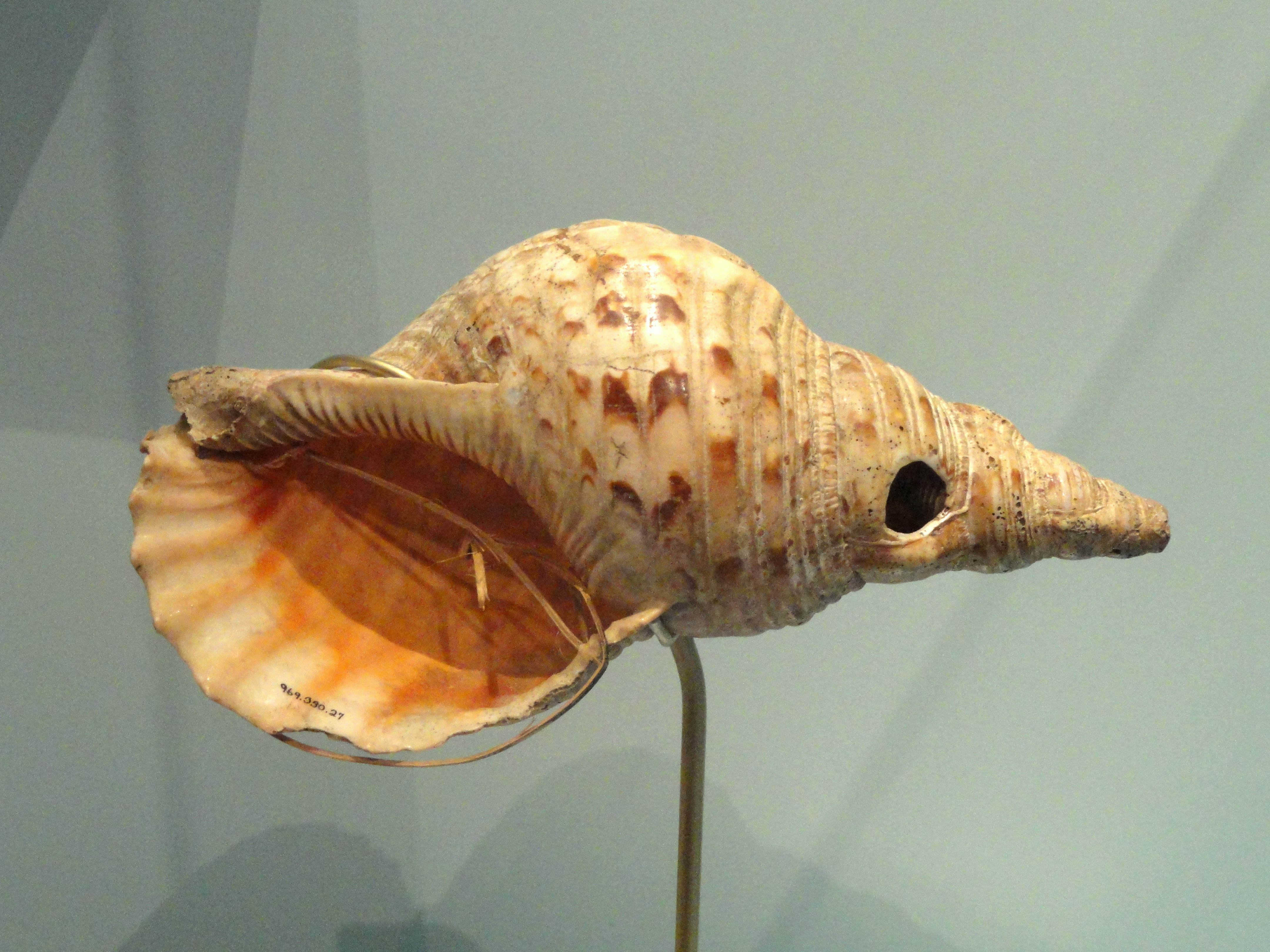 Conch Shell Art Craft