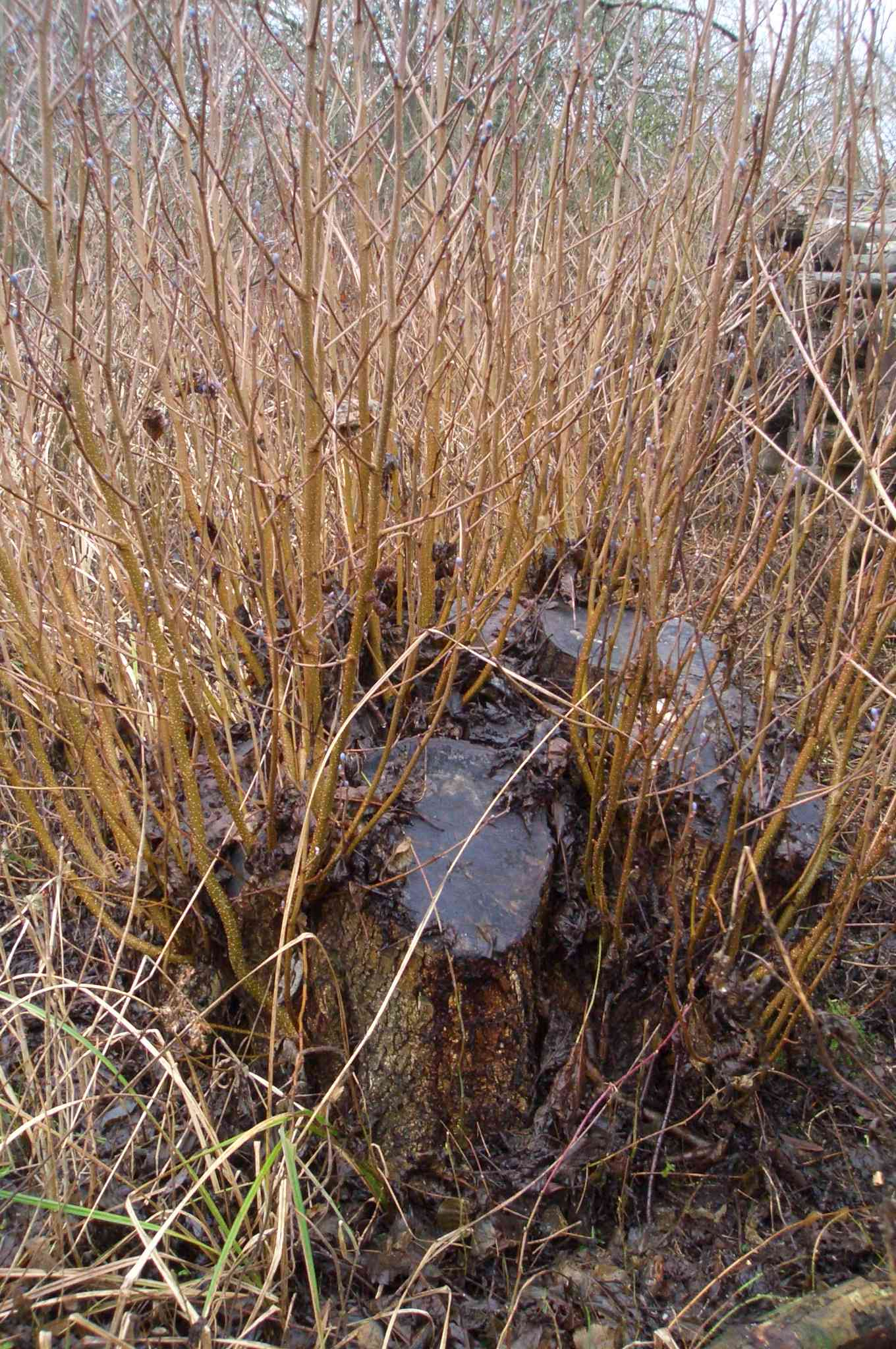 Coppice stool2.JPG
