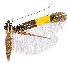 <i>Cosmopterix vanderwolfi</i> species of insect