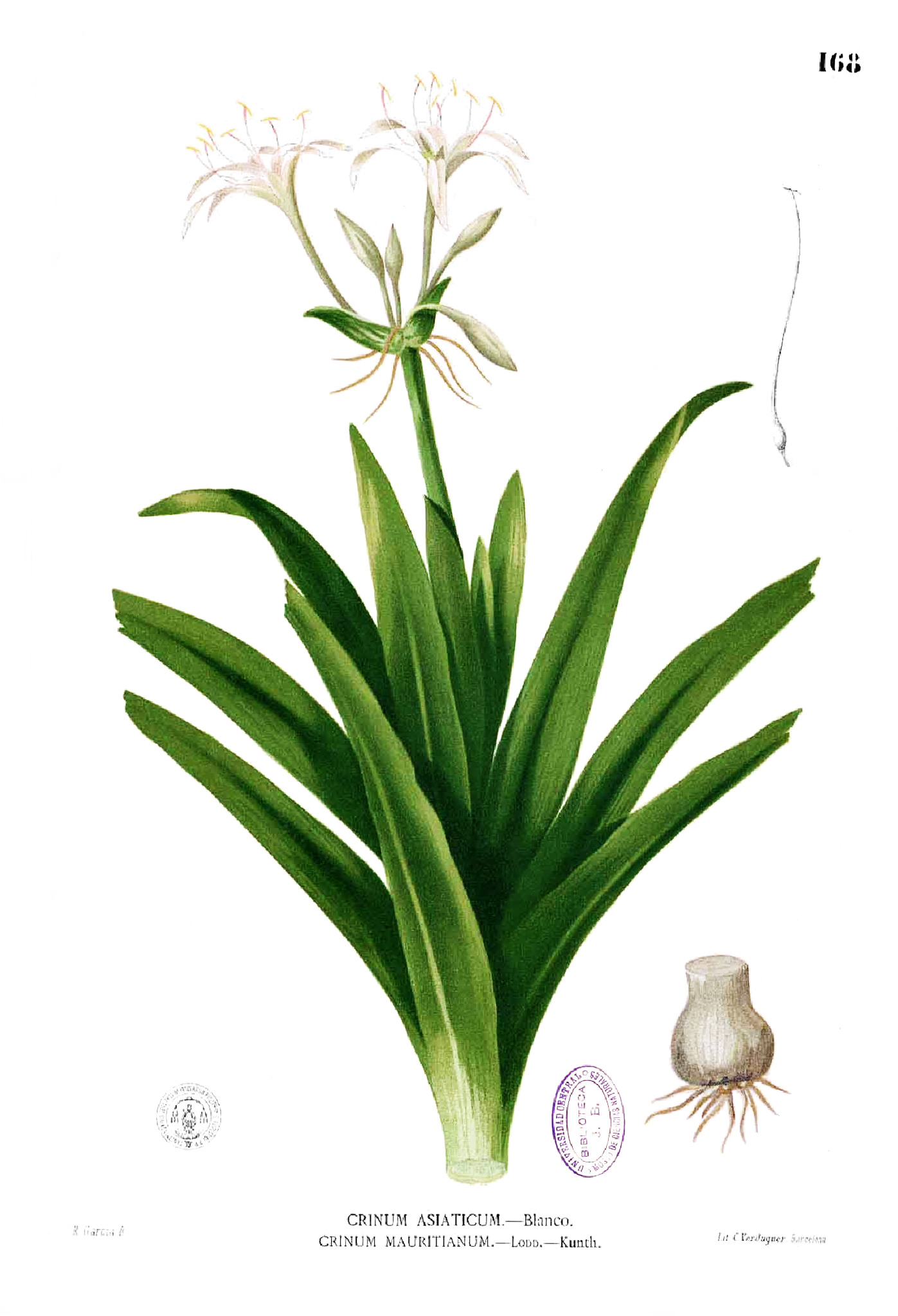 file crinum sp blanco1 168 png wikipedia open source clipart + words open source clip art collection