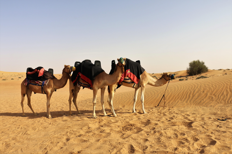 Filedubai camel ridingg wikimedia commons filedubai camel ridingg thecheapjerseys Image collections