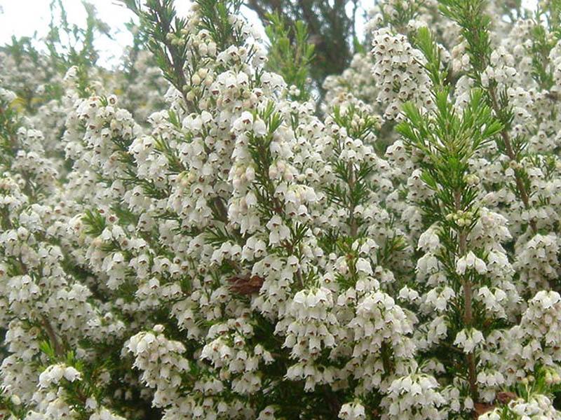 File:Erica arborea 3 (Picos).jpg