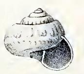 Ethminolia hemprichii 001.jpg