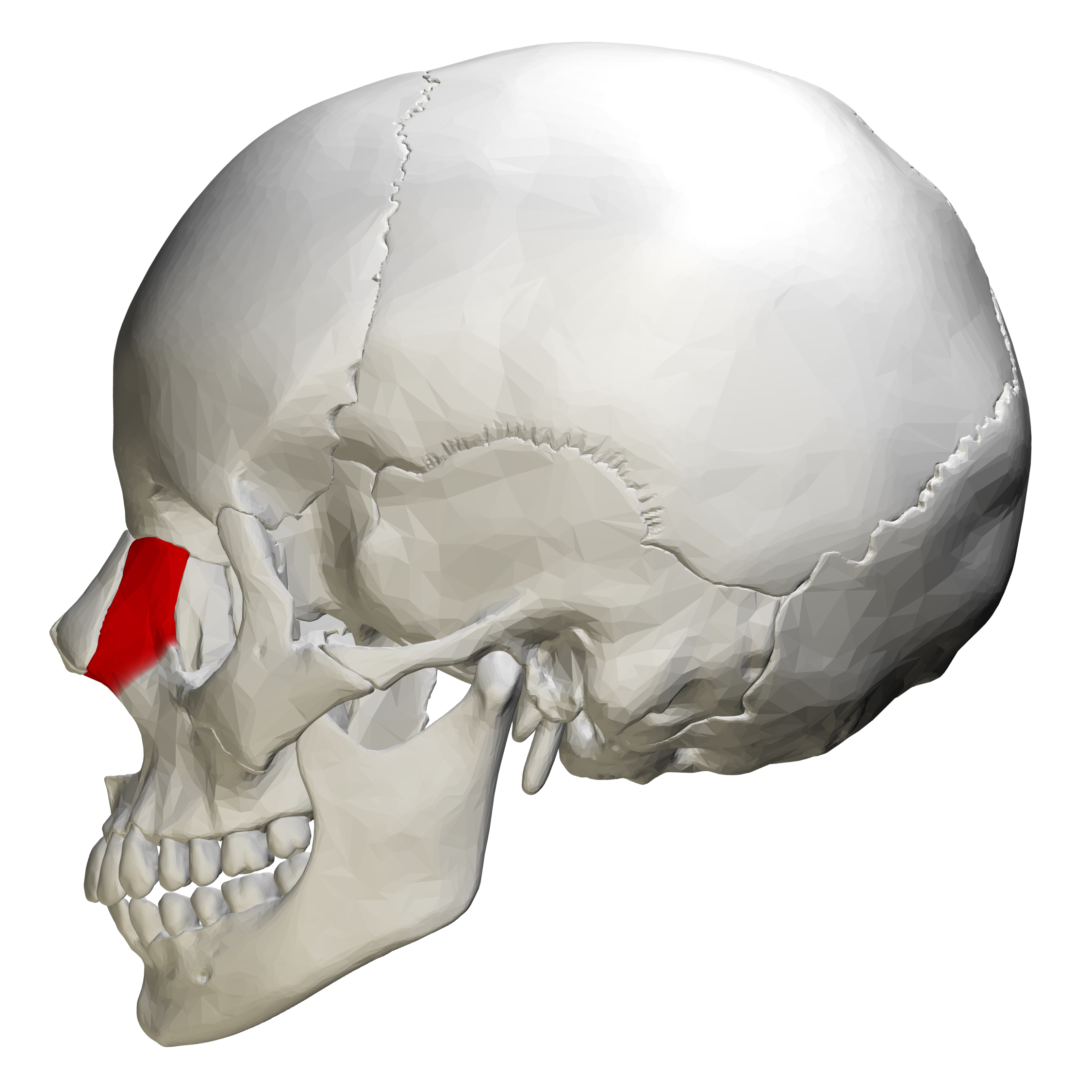 File:Frontal process of maxilla - skull - lateral view.png - Wikimedia Commons