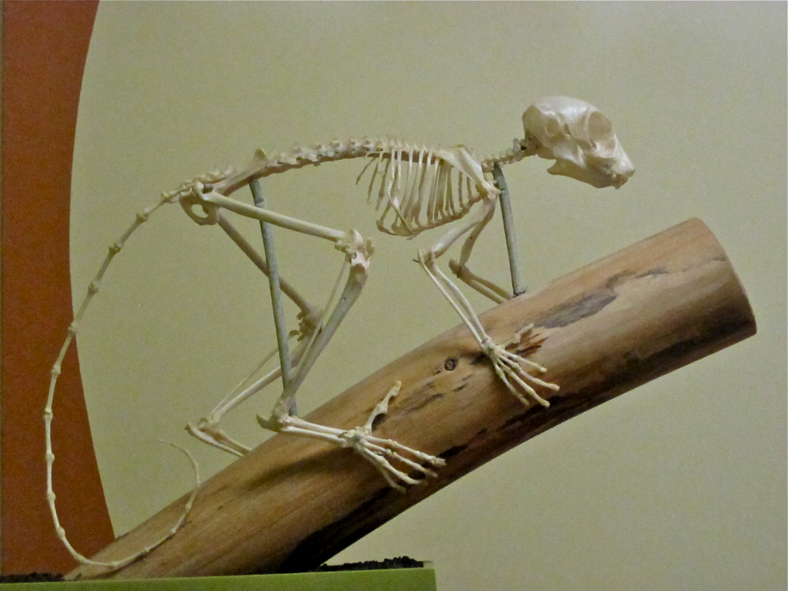 Image result for A galagos skeleton