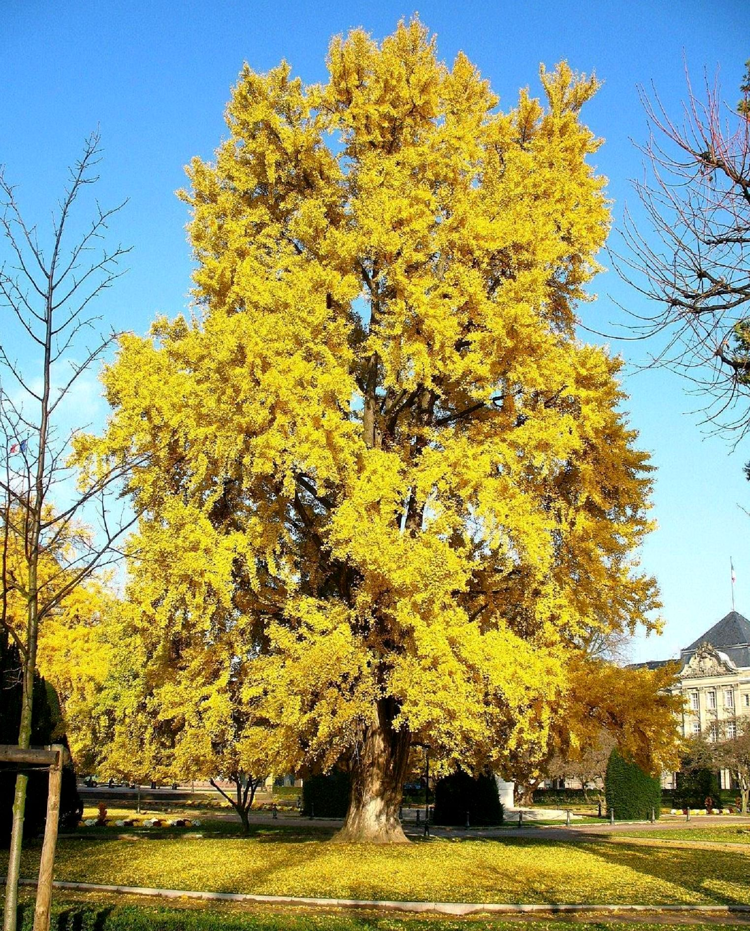 file ginkgo wikimedia commons