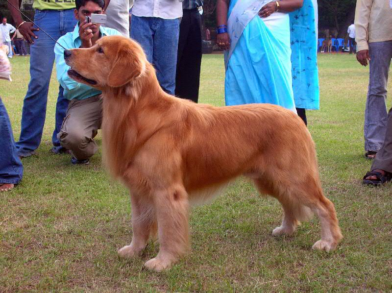 golden retriever dog breed. AKA: Golden, Yellow Retriever,